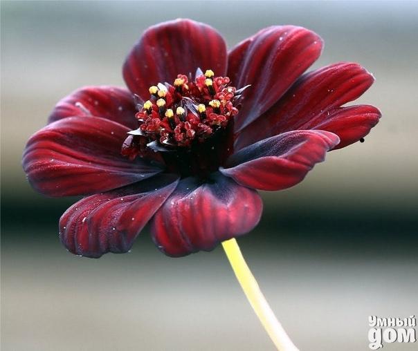 Цветок с запахом шоколада Шоколадная космея одно из самых прекрасных цветущих растений. Цветок можно увидеть на юге США, в Центральной Америке и на севере Южной Америки, самое огромное