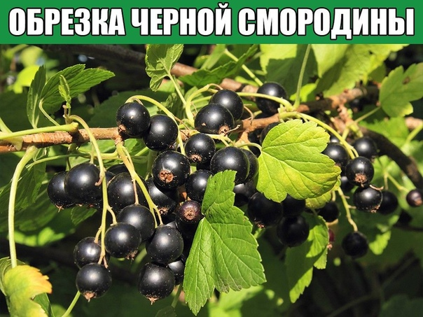 ОБРЕЗКА ЧЕРНОЙ СМОРОДИНЫ
