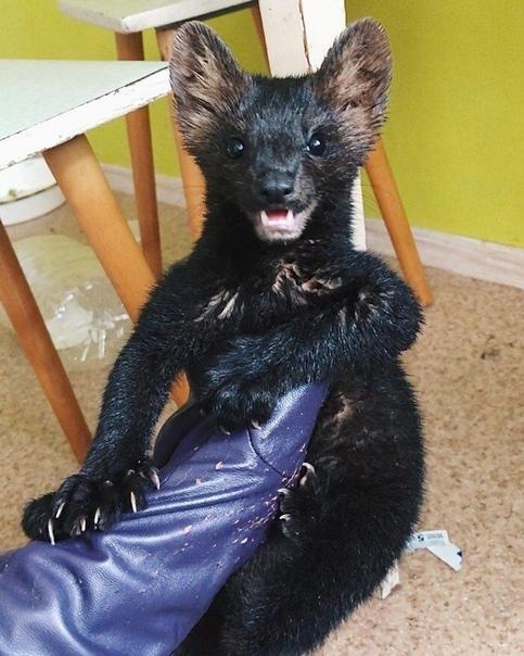 Соболица, которая должна была стать шубой Малыш по кличке Умора был спасен руками красавицы Жени, у которой, между прочим, есть еще большая собака. Женя рассказывала, что поначалу с Уморой было