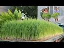 Rộ trào lưu trồng cỏ lúa mì không cần đất A trend of planting wheat grass without soil