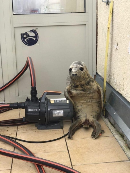 То чувство, когда станешь мемом... Сегодня из питерского центра помощи млекопитающим попытался сбежать тюлень. Неудачно, ибо заблудился в коридорах.Ну ничего, скоро малыш окрепнет и его выпустят
