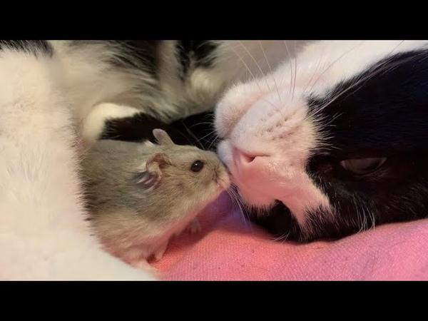 世界一仲良しかも?🐭❤️😸猫とハムスター🐾❤️🐭猫の爪のお手入 1
