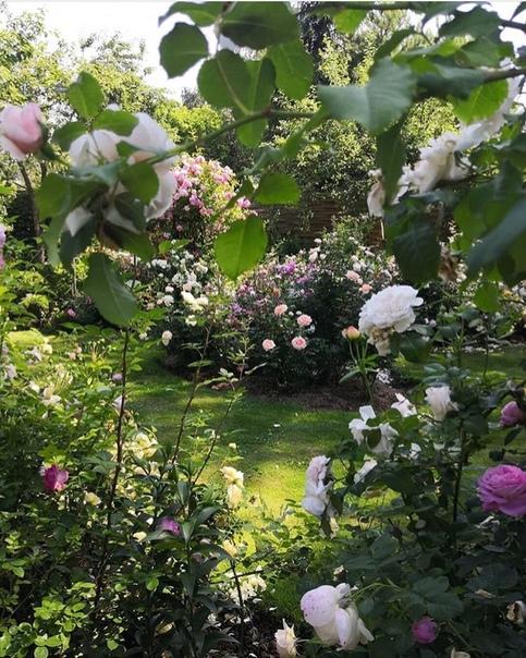 А вы любите розы (источник: gofazenda)