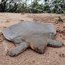 Не все черепахи могут похвастаться твердым панцирем. Есть и такие, чей карапакс(