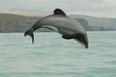 Самые мелкие дельфины Земли называются Мауи. Живут они только в одном месте…