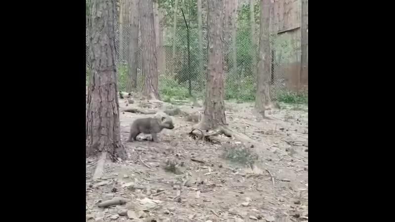 Серенький волчок