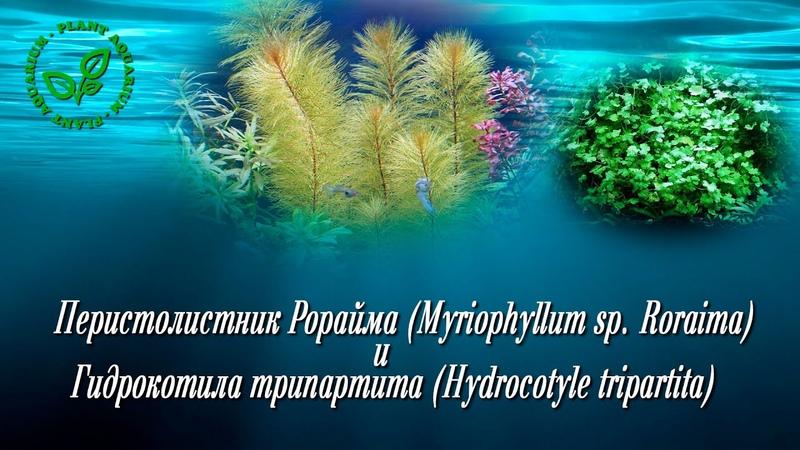 Перистолистник Рорайма (Myriophyllum sp Roraima) и Гидрокотила трипартита (Hydrocotyle tripartita)