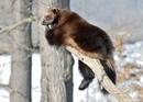 Росомаха – очень подвижный и выносливый зверь. Большую часть времени она проводит на земле…