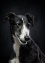 Фотограф делает портреты бездомных охотничьих собак, чтобы спасти им жизнь