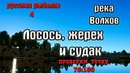 Русская рыбалка 4(рр4) - река Волхов. Лосось, жерех и судак.
