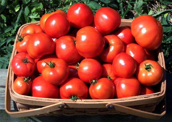 ОШИБКИ ПРИ ВЫРАЩИВАНИИ ТОМАТОВ Вот такие три ошибки может допустить дачник в уходе за томатами, после чего они дают, увы, слишком малый урожай.Первая ошибка слишком сильное загущение