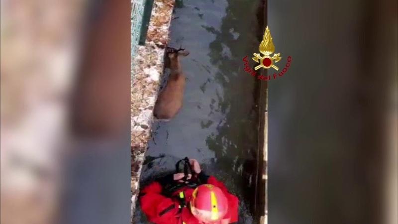 Pistoia i vigili del fuoco salvano due caprioli finiti nell'acquedotto