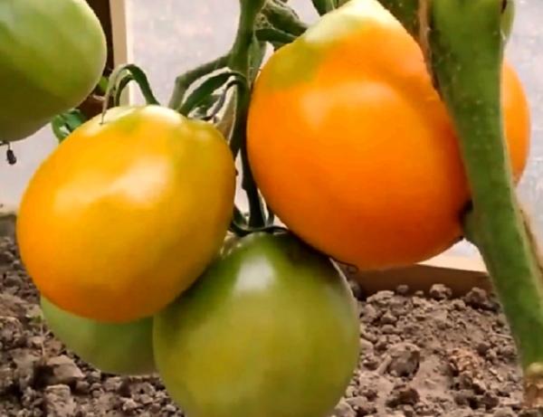 В чем сила желтых томатов для здоровья Урожайные сорта.