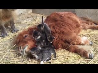 Самая странная семейка: котята обнимают пони, а копибара смотрит