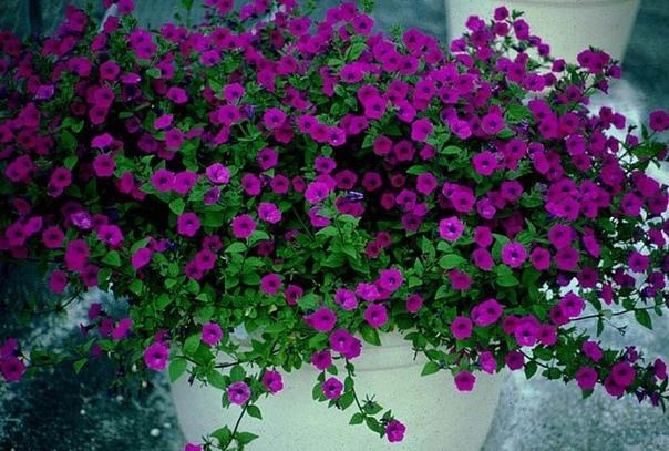 Подкормка рассады петунии Петуния очень яркое и любимое многими садоводами растение, ведь цветет она очень долго, а расцветок и видов можно найти великое множество. Ко всему прочему, петунию