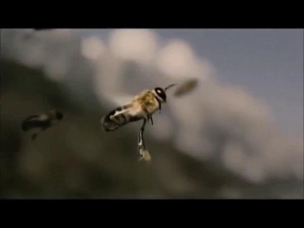 La fécondation chez les abeilles التزاوج عند النحل