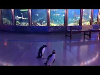 Океанариум в Чикаго закрыли из-за коронавируса. Персонал разрешил пингвинам гулять по территории и смотреть на рыб