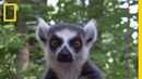 Raising Cute Baby Lemurs to Save a Species National Geographic