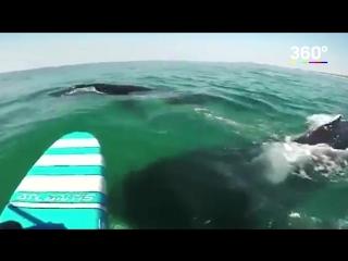 В Австралии стая китов помешала серфингисту