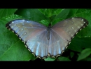 The Morphos from Yungas in Bolivia part1