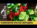 Размножение красной смородины черенками 7 дач