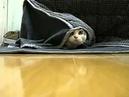кот спрятался,прикол