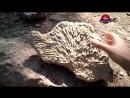 Окаменелый коралловый куст 1