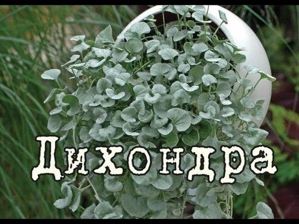 ДИХОНДРА СЕРЕБРИСТАЯ лучшее ампельное растение Уход и разведение в домашних условиях