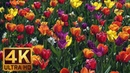 4K Flower Relax Video with Bird Signing from Skagit Valley Tulip Festival, Episode 6 - 2 HRS
