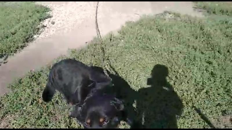 собака Арти в моей деревне детства Добрыни