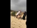 Верблюд ошалел от веса