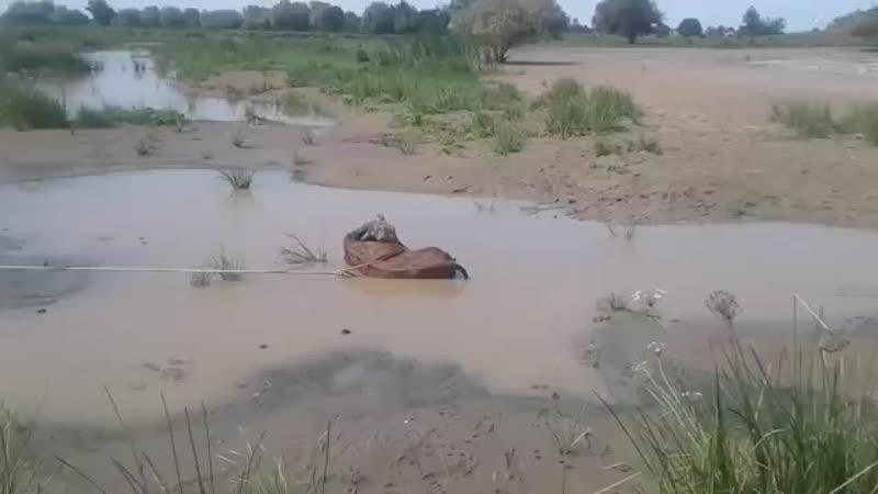 Летающая корова в Астрахани(бедная бурёнка 😦)