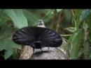 Брачные танцы райских птиц..mp4