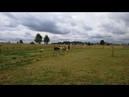 Корги Дождик впервые загонял овечек
