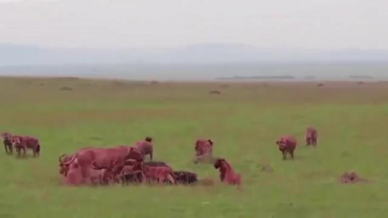 Стая гиен напала на прайд львов, Бой!