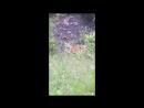 Амурский тигр вышел к автодороге у границ «Земли леопарда»