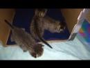 Коти моти