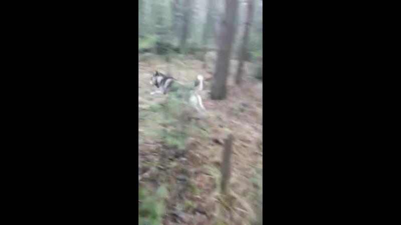 Зайка моя гуляет, лес волчиха!