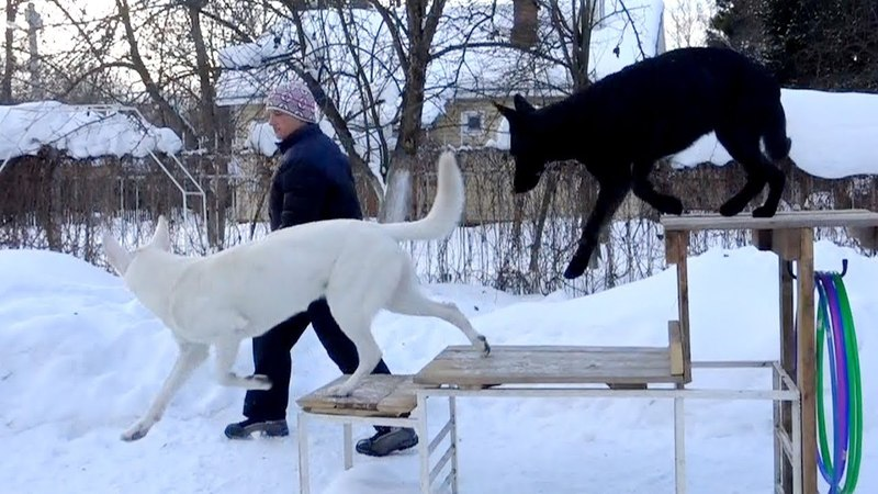 Догтренинг 193. Тест на доверие №2 на примере 7 собак.