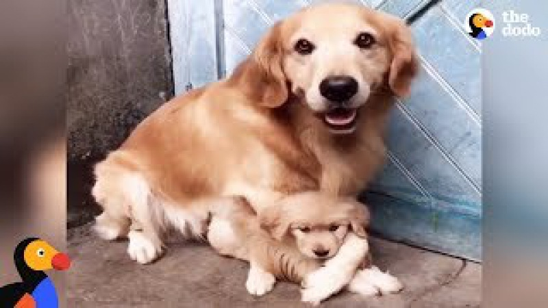 Protective Dog Dad Won't Let Anyone Near His Puppy | The Dodo