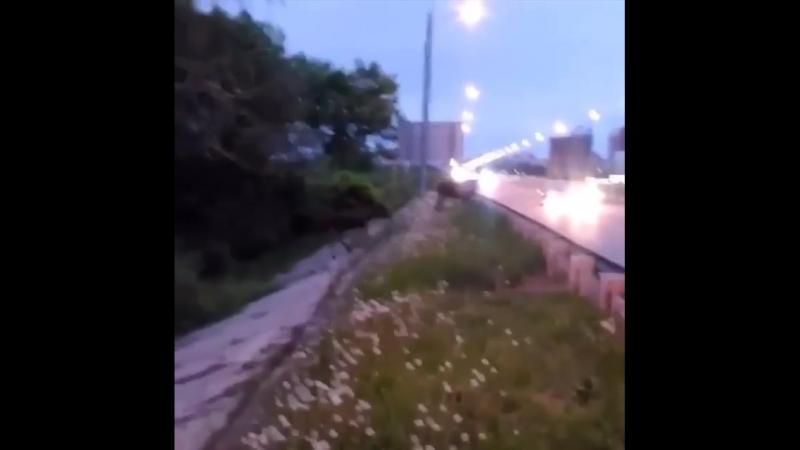 На Северном обходе Рязани жители города засняли лосей. Соответствующее видео появилось в группе «Новости Рязани ВКонтакте». На з