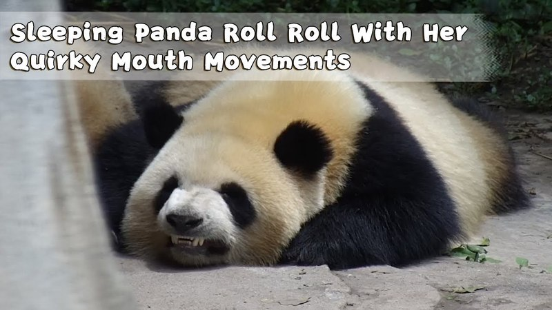 Sleeping Panda Roll Roll With Her Quirky Mouth Movements iPanda