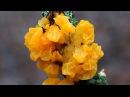 Дрожалка оранжевая Tremella mesenterica лечебный гриб