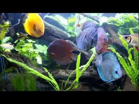 [HD]Discus Planted Biotope Aquarium at Sydney Discus World Aquariums