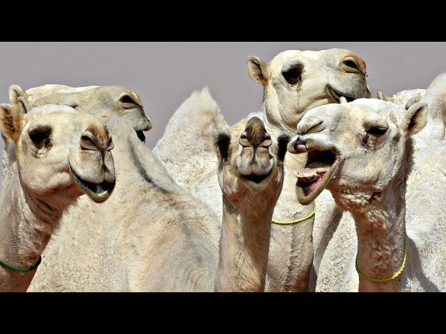 Конкурс верблюжьей красоты
