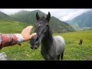 Грузия Казбек.Дикие лошади в горах.