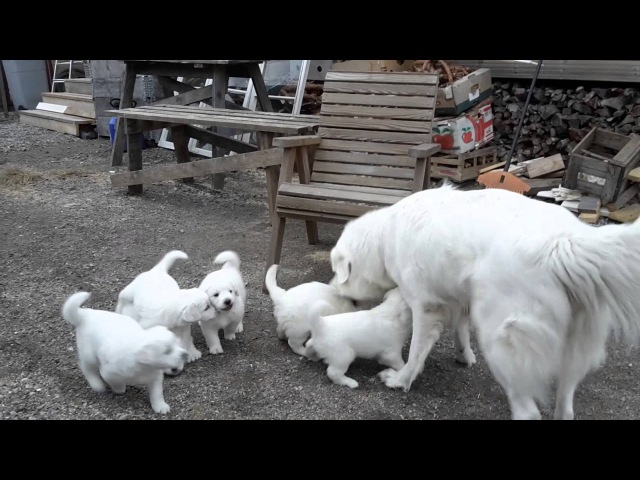 Slovensky cuvac cuvac puppies Haltiavuori