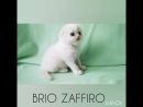 Pretty Paul Brio Zaffiro Highland Fold bicolour colorpoint
