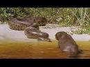 Для этих ребят пираньи еда анаконда деликатес чёрный кайман мальчик для битья Бразильская выдра