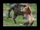 Sư tử vs Baboon vs Lion ➚ Animals Sudden attack chimpanzees Lion Leopard Gorilla